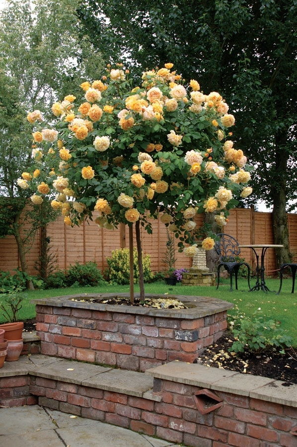 Standard Roses Are Valuable In The Garden, Particularly In More throughout Shorter Garden Apartments