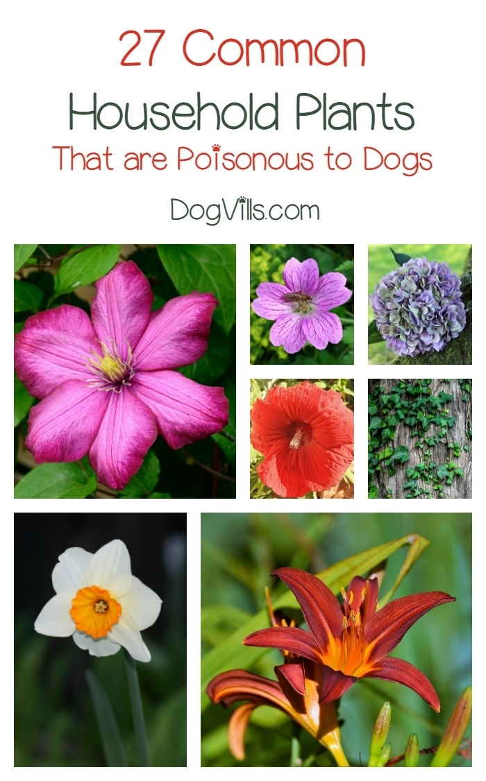27 Poisonous Plants For Dogs - The Common Dangers - Dogvills with regard to Garden Flowers Toxic To Dogs