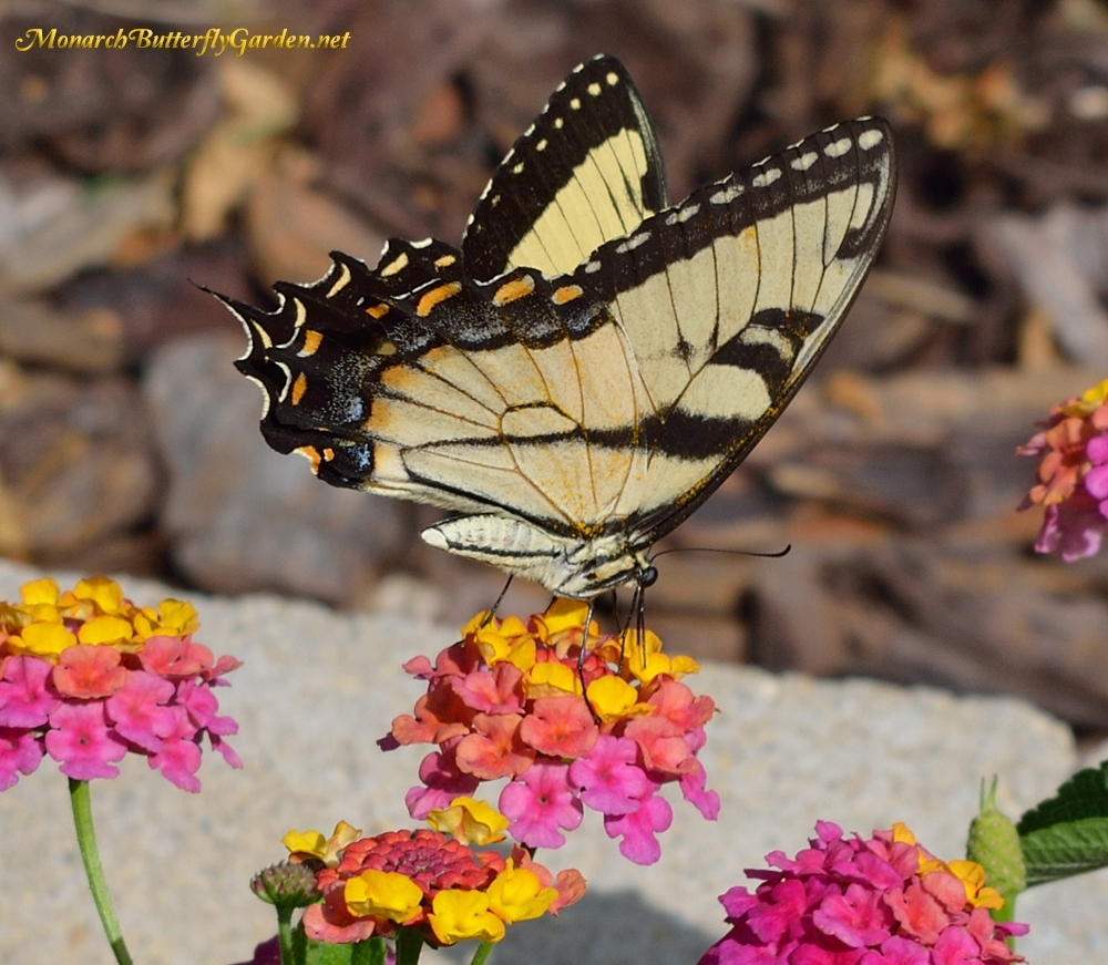 Butterfly Plants List- Butterfly Flowers And Host Plant Ideas with Garden Flowers That Attract Butterflies