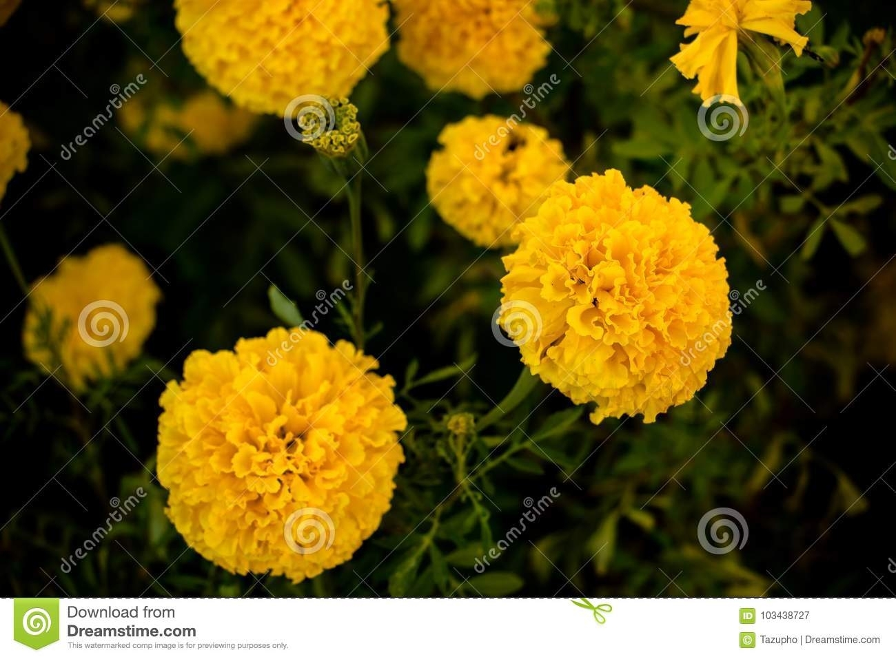 Closeup Photo Of Marigold Flowers. The Yellow-Orange Color Flower intended for Garden Flower Usually Yellow Or Orange