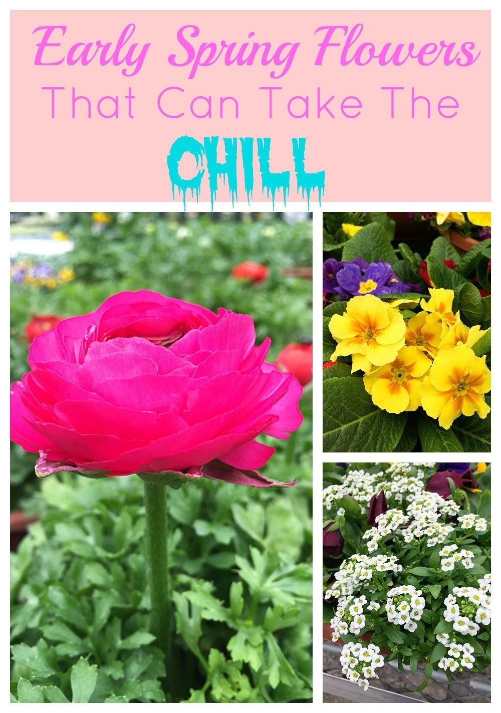 Early Spring Flowers That Can Take The Chill | Gardening Ideas for Garden Flowers To Plant Now