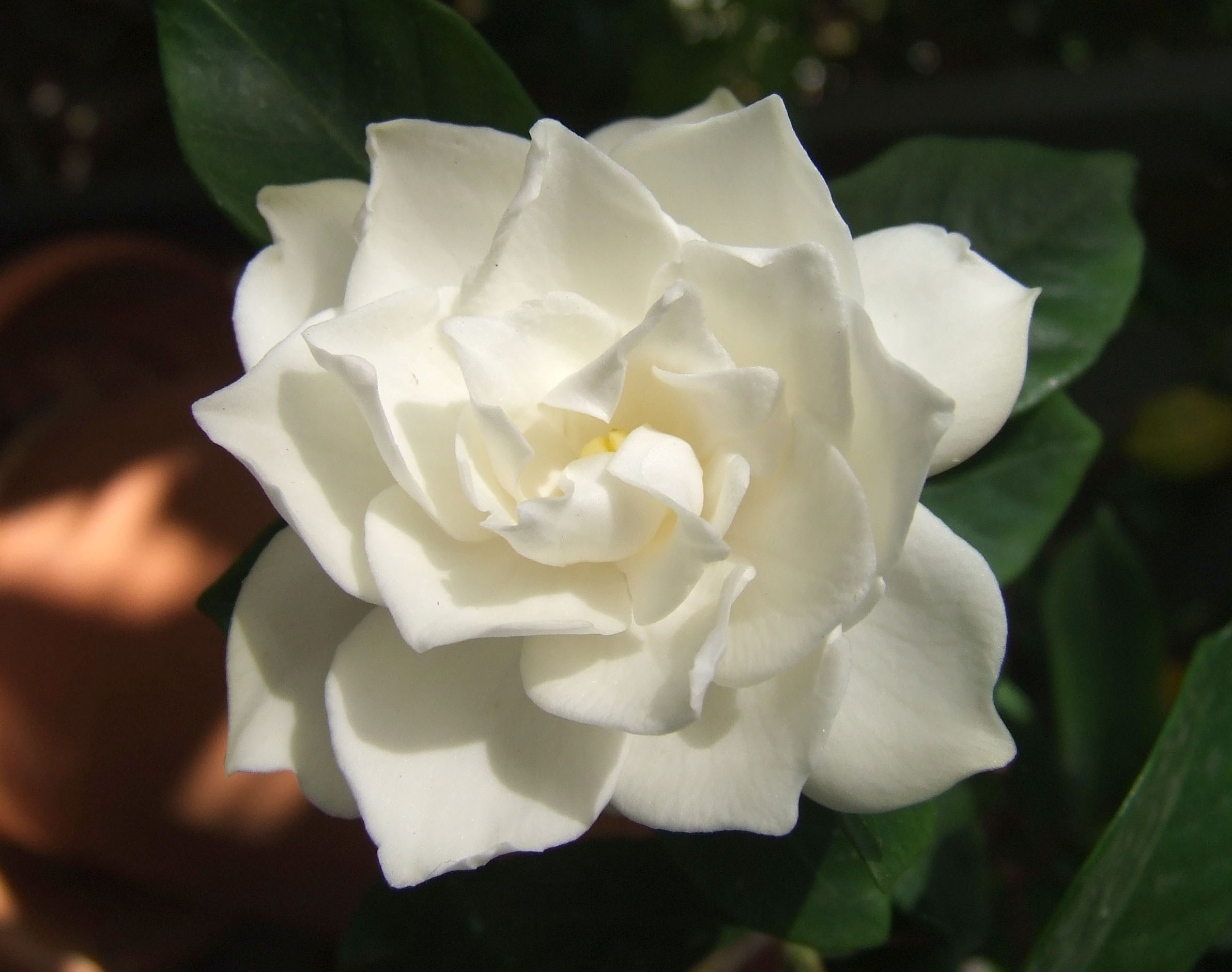 Gardenia Plant | Chhajedgarden with regard to Garden Flower Name In Marathi