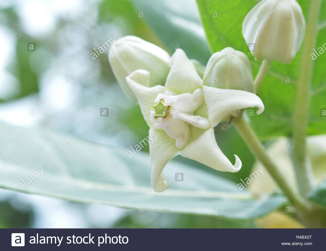 Indian Flower Names Stock Photos & Indian Flower Names Stock Images inside Garden Flowers Name In India