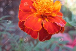 Marigold Flower Tagetes Patula Stock Photo - Image Of Kannada within Garden Flower Name In Marathi