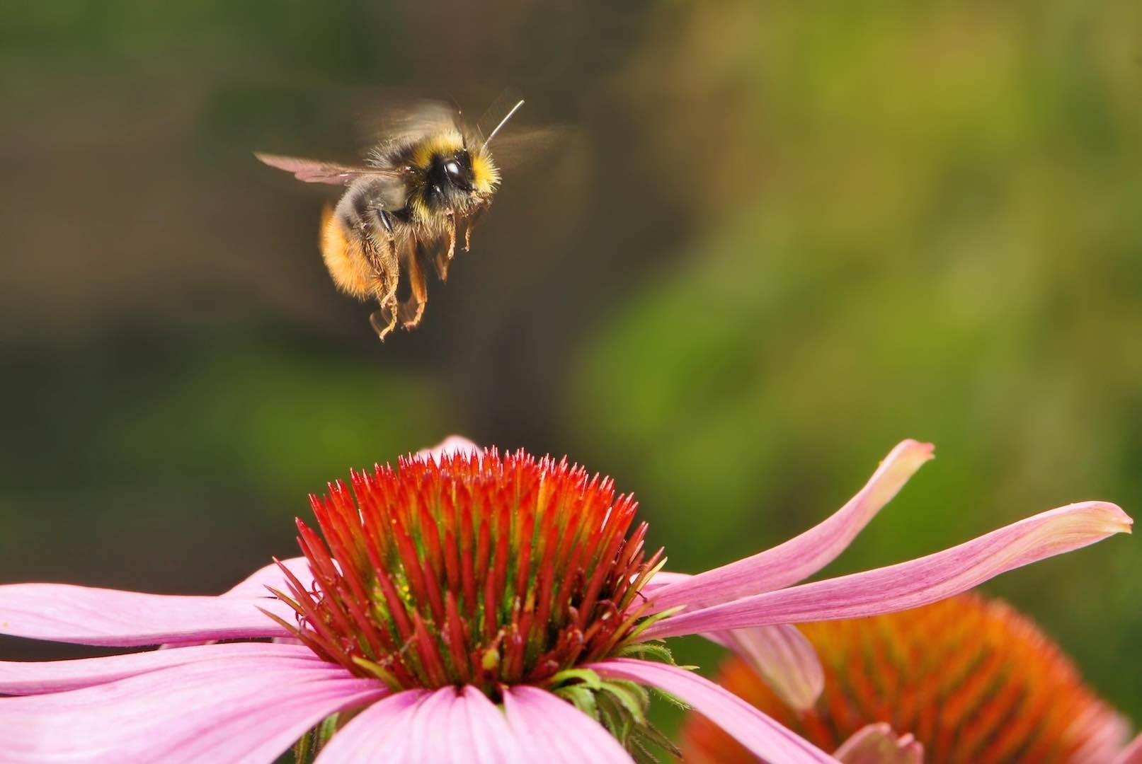 Plant A Bee Garden - The Honeybee Conservancythe Honeybee Conservancy intended for Garden Flowers That Attract Bees