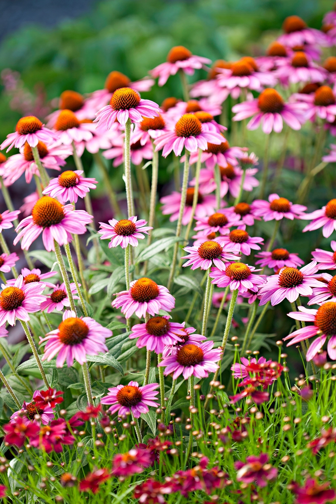Power Perennials: Plants That Thrive No Matter What   Better Homes with Garden Flowers That Like Full Sun