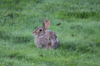 Rabbits: How To Identify And Get Rid Of Rabbits | Garden Pest pertaining to Garden Flower Harmful To Rabbits