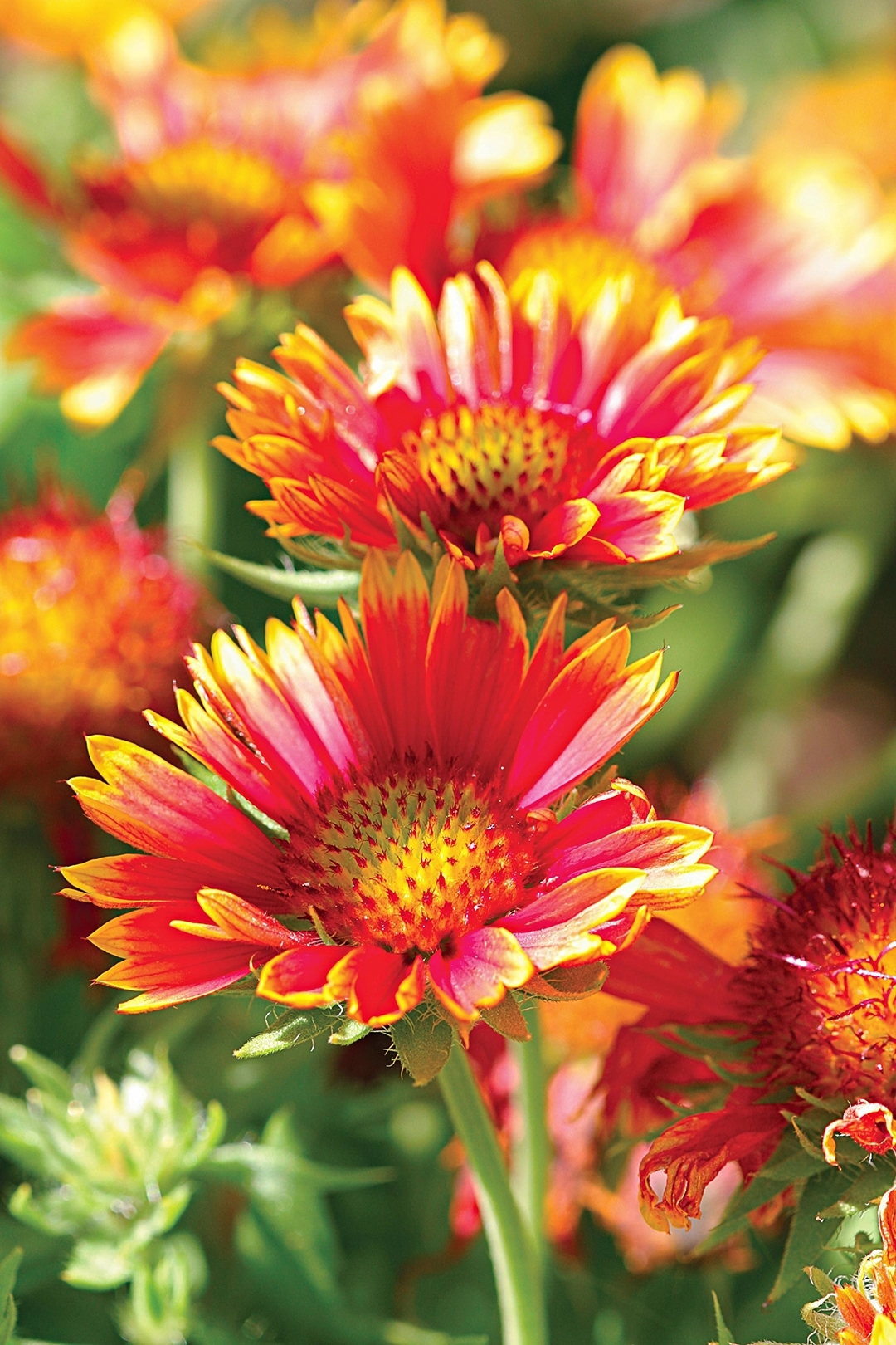 Top 26 Perennials For Your Garden   Better Homes & Gardens for Garden Flowers To Plant Now