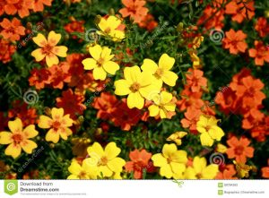 Yellow And Orange Small Garden Flowers Stock Image - Image Of Leaves intended for Garden Flower Usually Yellow Or Orange
