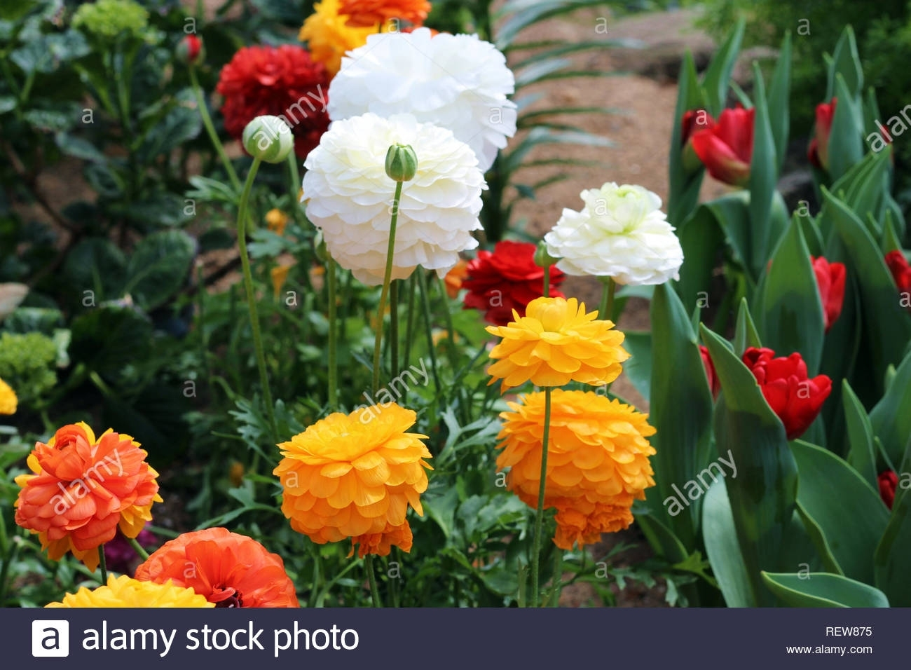 Yellow, Orange, White And Red Ranunculus Flowers Next To Red Tulips inside Garden Flowers Usually Yellow Or Orange