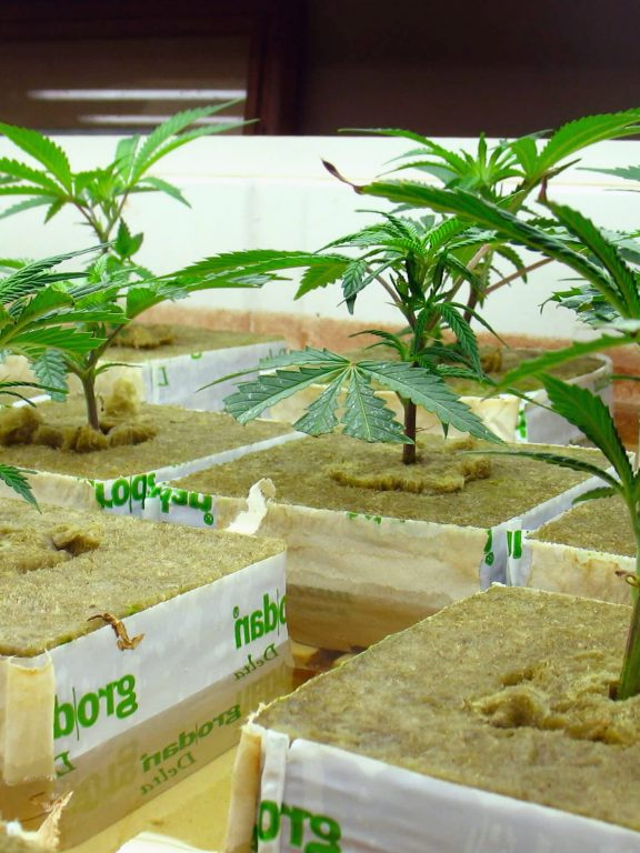 Hydroponics Systems For Weed Growing